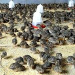 Starting a Quail Farming Business in Nigeria – Sample Business Plan