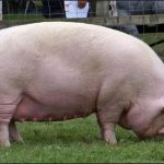 Pig Farming Business Plan in Nigeria – How to Start a Pig Farm