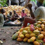 cocoa farming processing business plan in nigeria