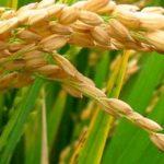 rice farming & processing business plan in nigeria