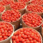 tomato farming business plan in nigeria