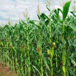 maize farming business plan in nigeria