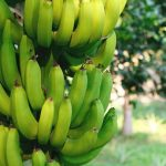 plantain farming business plan in nigeria