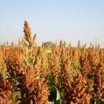 sample sorghum farming business plan in nigeria