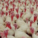 updated turkey business plan in nigeria